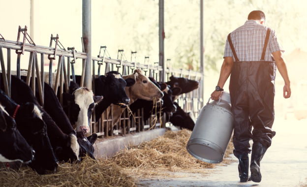 Farmer carrying milk churn in front of feeding cows.